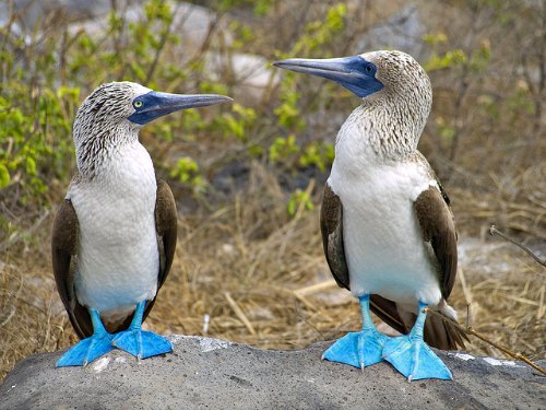 Blue-footed-boobies-Galapagos-islands1